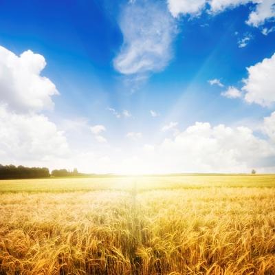 Pridelava novih genetskih modifikacij gomoljnic, žitaric in oljčnih semen