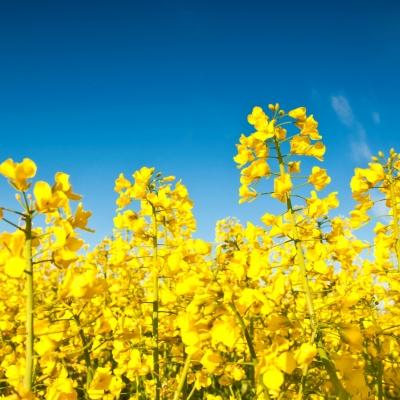 Pridobivanje biogoriva iz oljne repice